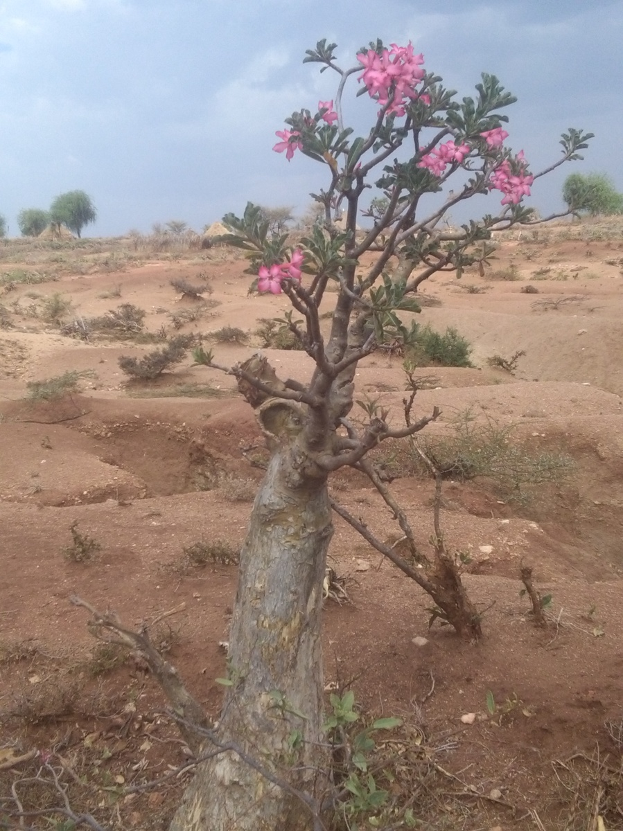 Desert Rose in Ethiopia by Access Eco Trekking Tours
