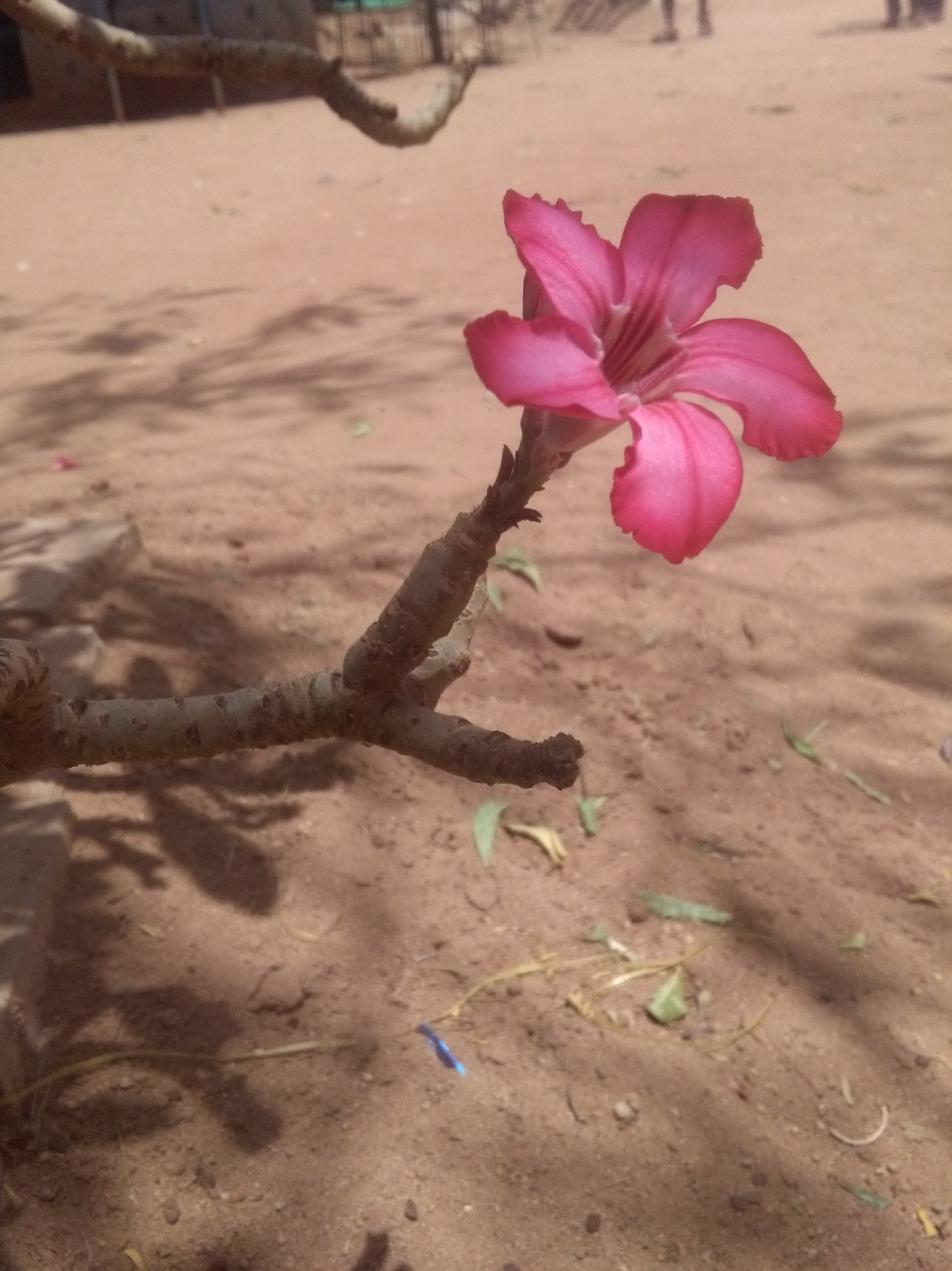 Desert Rose by Access Eco Trekking Tours